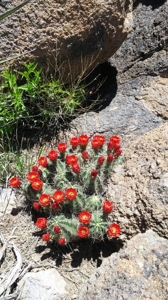 Flowers in the Davis Mountains