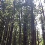 Redwood trees in Redwood National park
