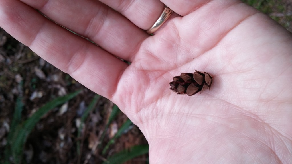 The smallest of the pinecones we have seen so far.