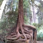 Tree Growing on a fallen tree