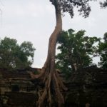 Another famous tree in Ta Prohm